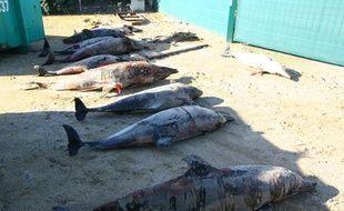 Echouage de dauphins sur la plage de Biscarosse en février 2013
