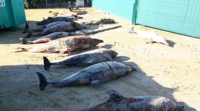 L'Etat condamné pour des prises accidentelles de dauphins