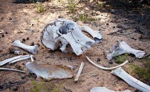 Le braconnage a fortement augmenté ces dernières années en Afrique de l'Est, avec le massacre de troupeaux entiers d'éléphants pour leur ivoire.