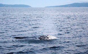 La baleine grise, observée vendredi, au large de Bormes-les-Mimosas