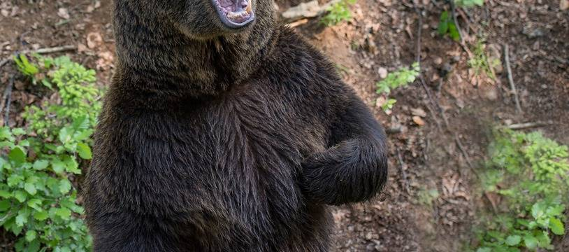 Un ours brun. Illustration.