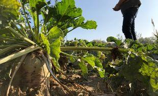 Hervé Lingrand, agriculteur bio près de Douai, dans le Nord, dans son champ de betteraves très peu touché par la jaunisse.