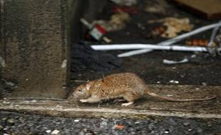 Illustration de rats