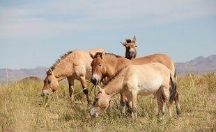 Des chevaux de Przewalski, dans une réserve de Mongolie.