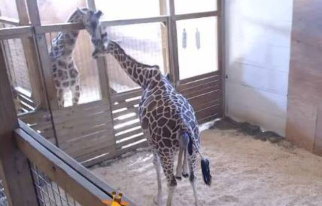 April la girafe