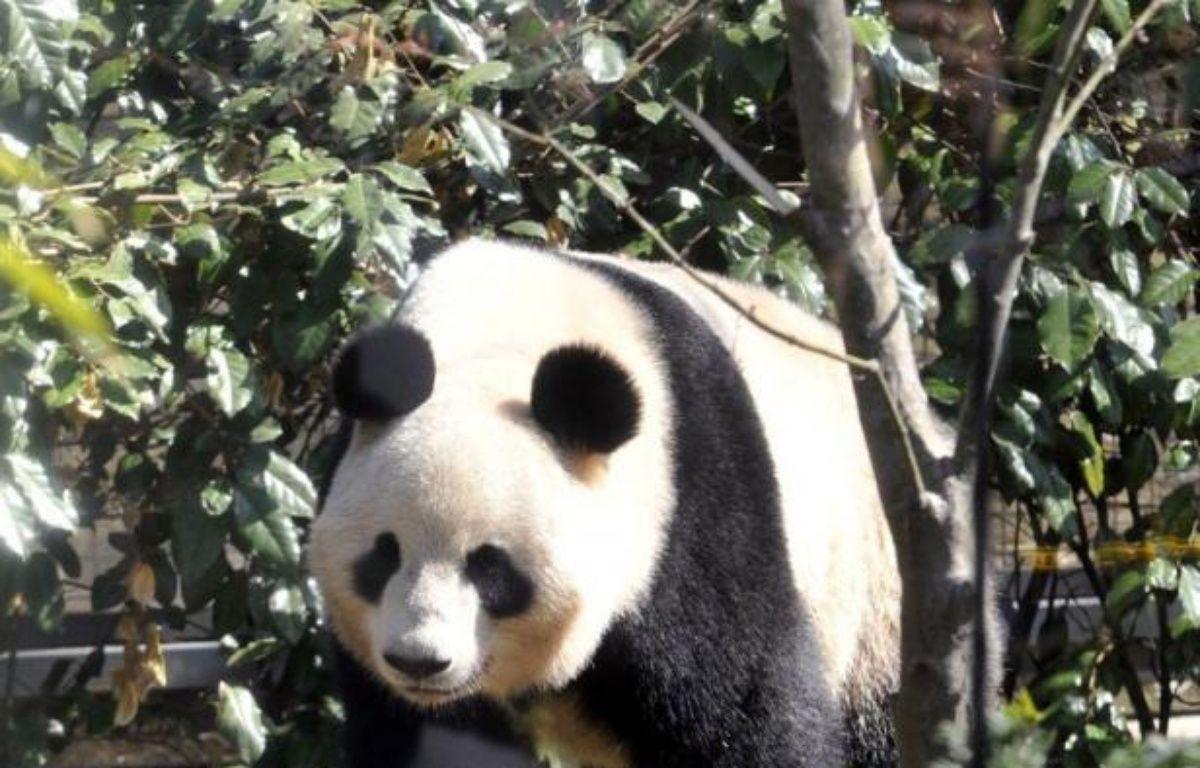 Les médias japonais étaient tout excités mardi après avoir appris qu'un panda géant du célèbre zoo du quartier d'Ueno à Tokyo présentait des signes de grossesse. – Yoshikazu Tsuno afp.com