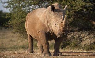 Un rhinocéros dans une ferme près de Vaalwater, dans le nord de l'Afrique du Sud, le 17 mars 2015