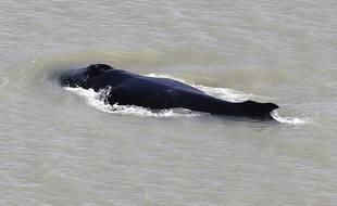 Une baleine à bosse égarée début septembre 2020 dans une rivière tropicale infestée de crocodiles en Australie.