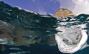 Un requin tigre au large des Bahamas, en août 2012