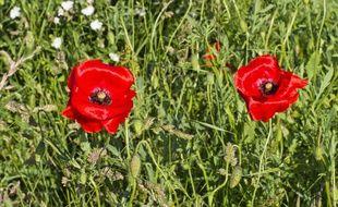 Illustration de coquelicots, des fleurs qui deviennent de plus en plus rares dans notre région.