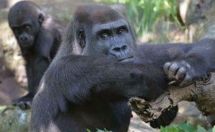 Illustration de gorilles dans un zoo.