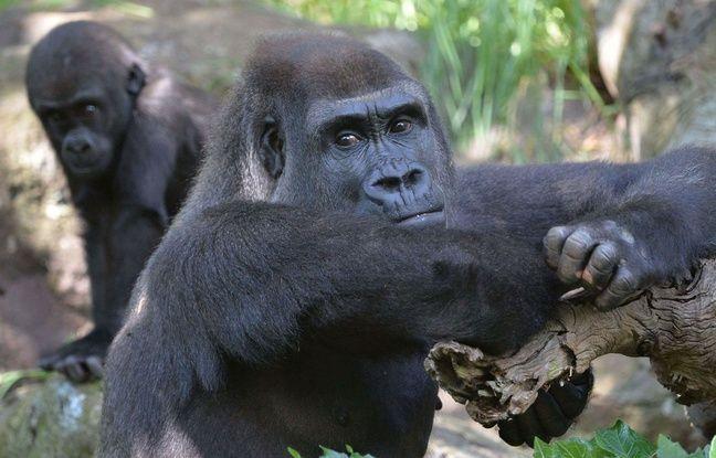 648x415 illustration gorilles zoo