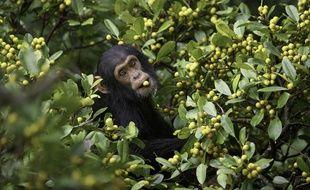 Jeune chimpanzé mange dans un Ficus natalensis. Kibale National Park, Ouganda.