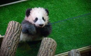 Yuan Meng au zoo de Beauval, en décembre dernier.