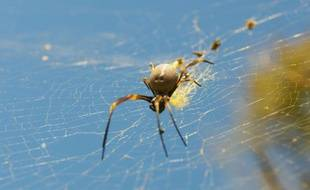 Une araignée australienne dans sa toile.