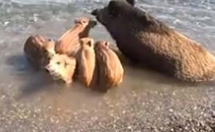 Des sangliers barbotent dans la mer.