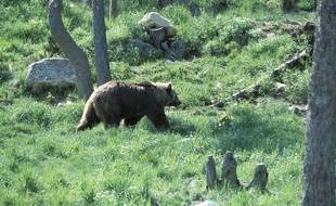 Un ours dans les Pyrenees-Orientales.