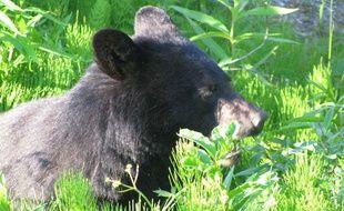 Un ours noir photographié en Alaska.
