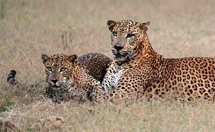 Des léopards dans le parc de Yala, au Sri Lanka, le 21 mars 2013.