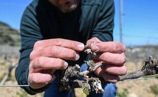 Le gel tardif a dévasté une partie des récoltes françaises, comme ici chez un vigneron ardéchois.