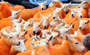 Pip Simpson, un éleveur de brebis du comté de Cumbria (nord-ouest de l'Angleterre, Royaume-Uni) a décidé, en septembre 2016, de peindre son cheptel de 800 bêtes en orange pour dissuader les voleurs.