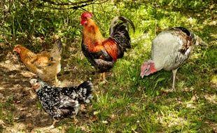 Un coq au milieu des poules. (illustration)