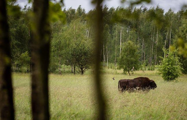 Un bison dans la forêt de Bialowieza, en Pologne, en mai 2016.