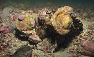 La population d'huîtres plates a fortement décliné ces quarante dernières années.