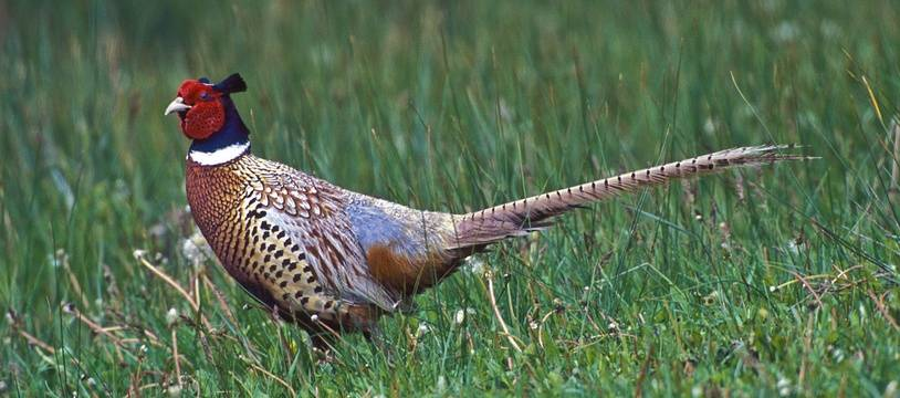 La chasse aux faisans s'était tenue de nuit, ce qui est strictement interdit.