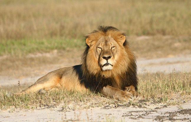 Cecil le lion a été tué par un chasseur.