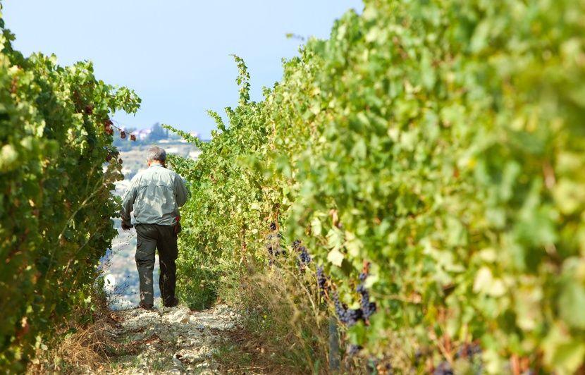 Nice: Quand les vignes des vins de Bellet s'invitent en ville