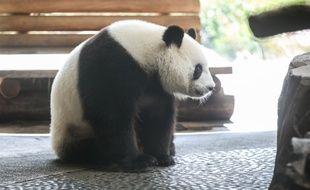 Meng Meng, la femelle panda du zoo de Berlin, est enceinte.