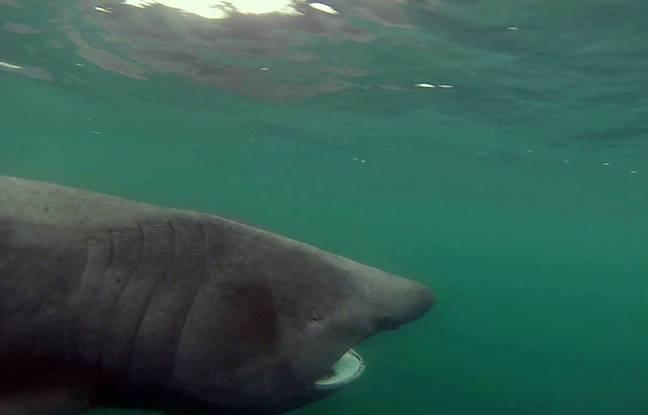 Anna, requin pèlerin observé au large de la Bretagne en mai 2016.