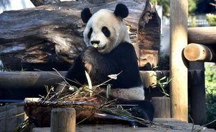 Riri, le panda géant mâle du zoo de Tokyo.