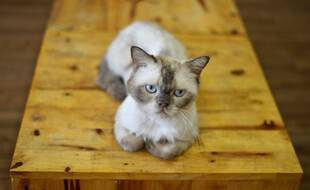 Les chats sont sensibles au coronavirus, mais présentent peu de symptômes.