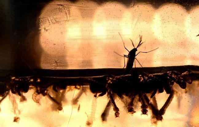 Aedes aegypti est une espèce de moustique qui est le vecteur principal de la dengue, de zika et du chikungunya.
