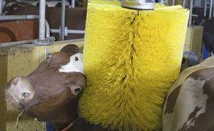 Une vache apprécie la brosse rotative commercialisée par l'entreprise suédoise DeLaval.