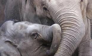 Un éléphanteau et sa mère.