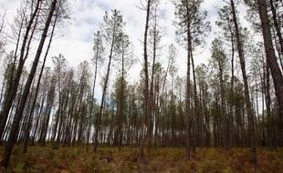 La forêt des Landes gagnerait en productivité si des mélanges d'essences y étaient réalisés.