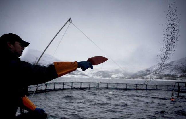 Norvège: Une algue toxique responsable de la mort de millions de saumons d'élevage