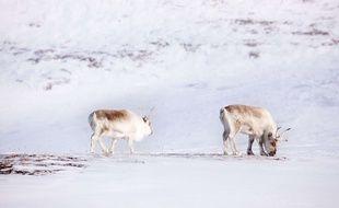 Deux rennes sur l'île de Spitsberg, Svalbard, Norvège.