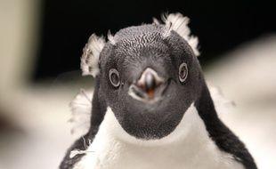 Un petit manchot Adelie né il y a un mois au zoo de Guadalajara au Mexique.
