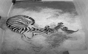 Deux bébés tigres de Sumatra, une espèce en voie de disparition, sont nés cette semaine au jardin zoologique de Washington