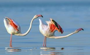 Des flamants roses.