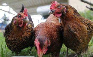 Les poules se nourrissent des restes des repas et peuvent ainsi participer à réduire les déchets produits par une famille.