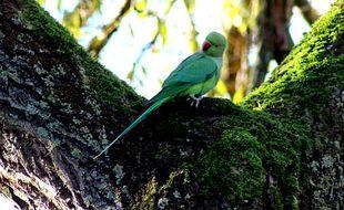 Les perruches à collier investissent les parcs d'Ile-de-France.