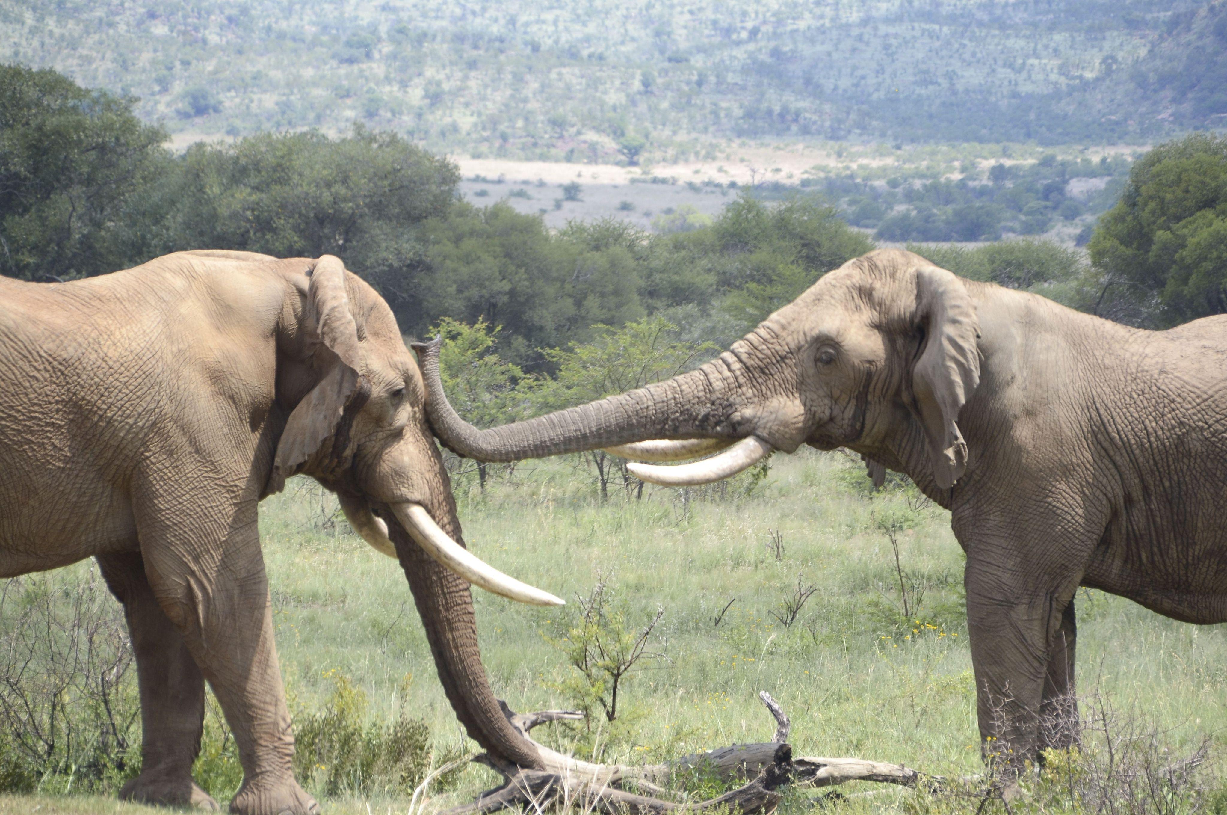 (Illustration) Une bagarre d'éléphants dans la réserve Pilanesberg Game en Afrique du Sud.