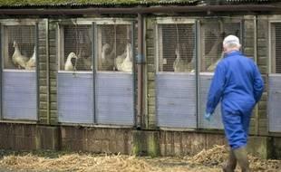 Un homme portant un masque de protection dans un élevage de canards du Yorkshire (Grande-Bretagne) après l'apparition de premiers cas de grippe aviaire le 17 novembre 2014.