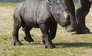 Malabar est la 3e petit rhinocéros blanc, né au safari de Peaugres.