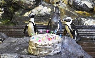 Les manchots de l'aquarium fêtent leurs anniversaires.